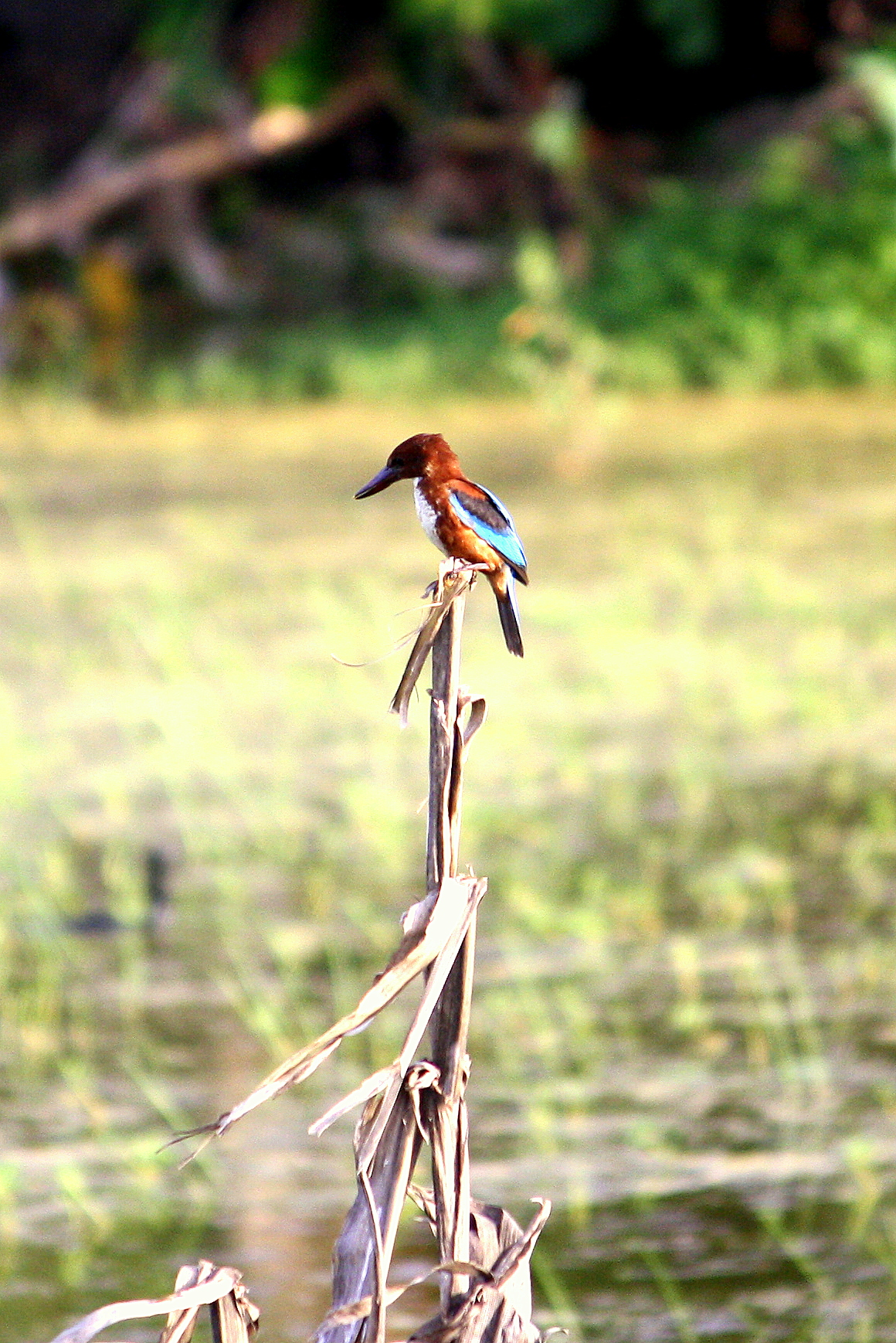 Goa birds